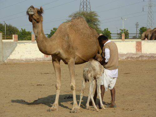 kupranugario ūkis,bikaner,Indija