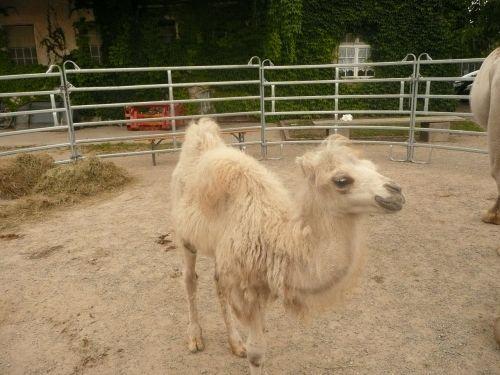 camel foals sanfrancisco freiburg
