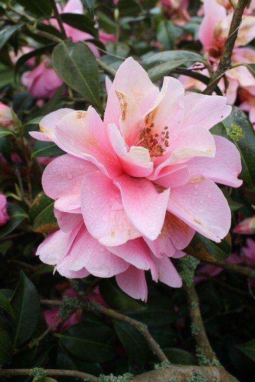 camelia  camellia japonica  camellia sasanqua