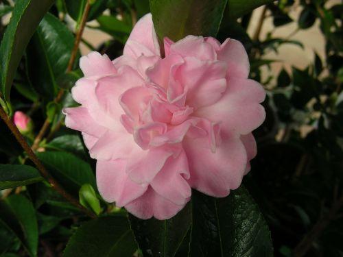 camelia pink camelia flower