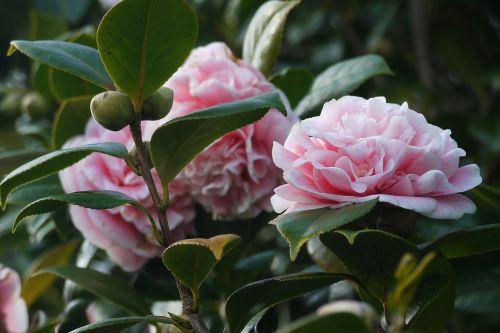 camellia flowers garden