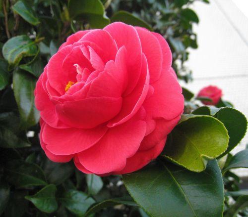 camellia flowers leaf