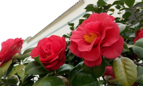 camellia red flowers