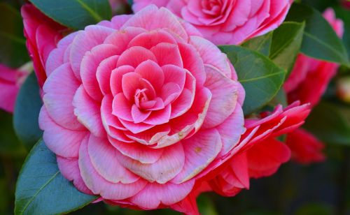 camellia camelia japonica bush