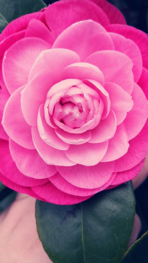camellia  flower  rosa