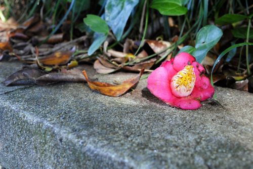 camellia flower leaves fallen flowers