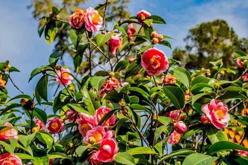 camellias  flowers  garden