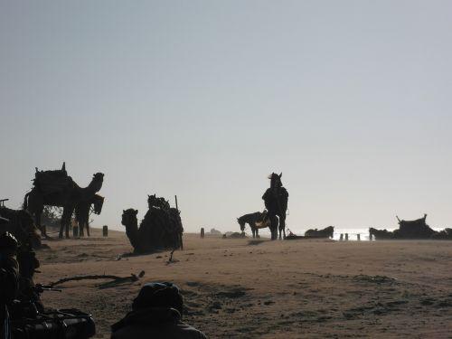 camels horses beach
