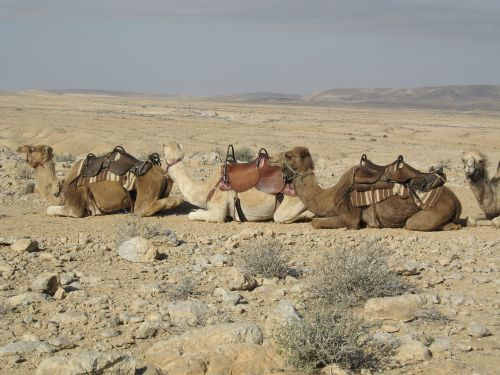 camels sand desert