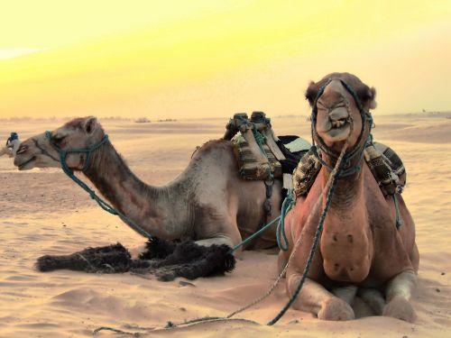 camels animals desert