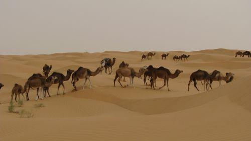 camels desert tunisia