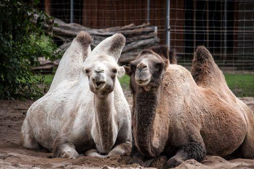 camels camel desert