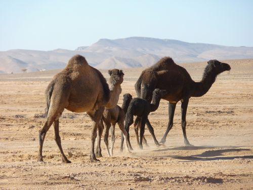 camels desert morocco
