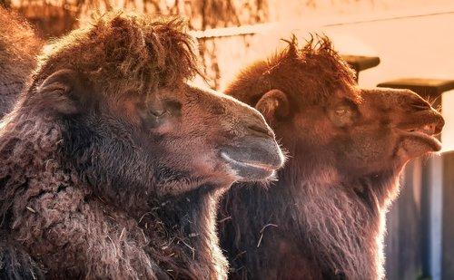 camels  dromedaries  desert ship