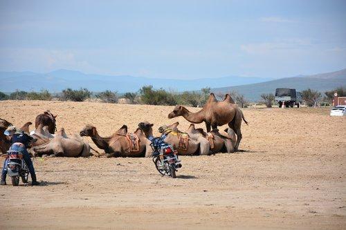 camels  gobi  mongolia