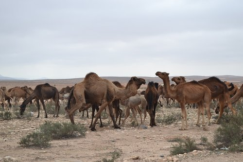 camels  herd  desert