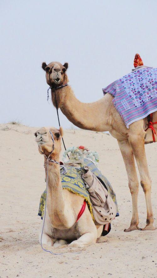 camels desert more