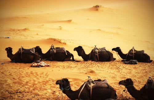 camels desert sand