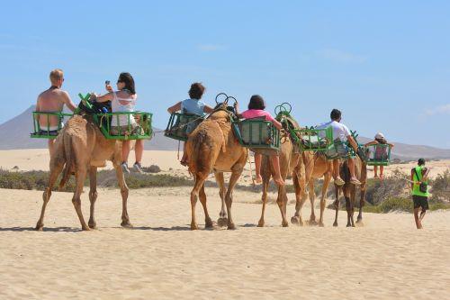 camels animals camel safari