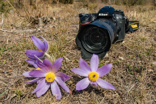 camera pasque flower pulsatilla