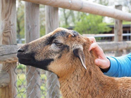 cameroon sheep  sheep  stroke