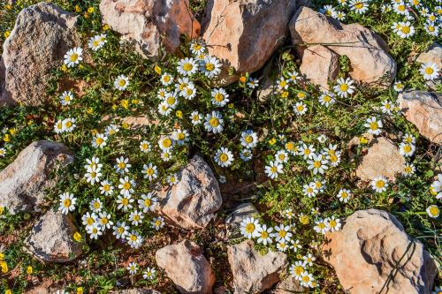 camomile flower nature