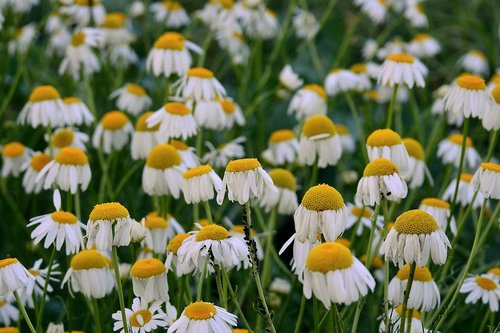 camomile  flowers  meadow