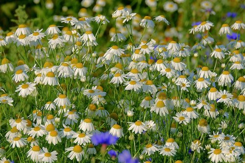 camomile  meadow  flowers