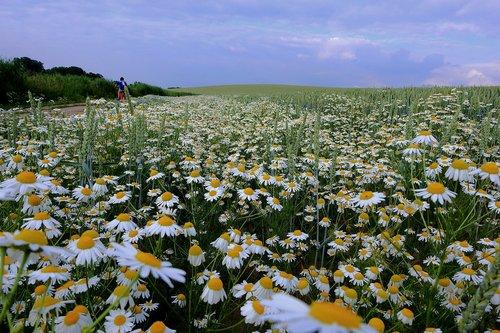 camomile  landscape  flowers