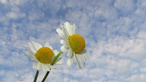 camomile  flowers  nature