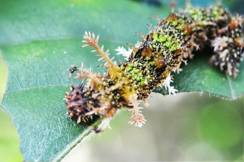 camouflage caterpillar eat