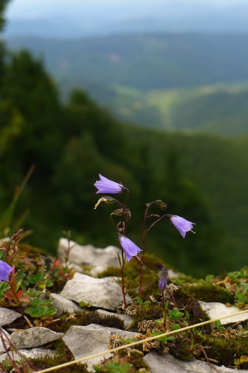 campanula bellflower wildflower