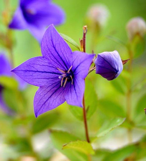 campanula  flower  nature