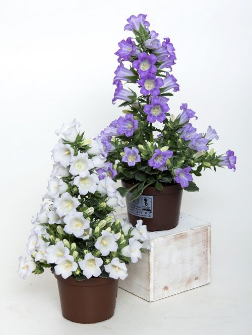 campanula bellflower blue