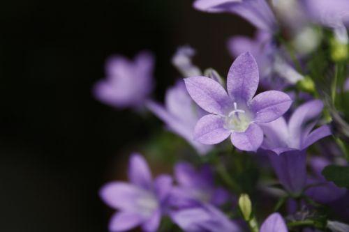 campanula purple violet