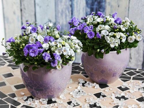 campanula flower blue