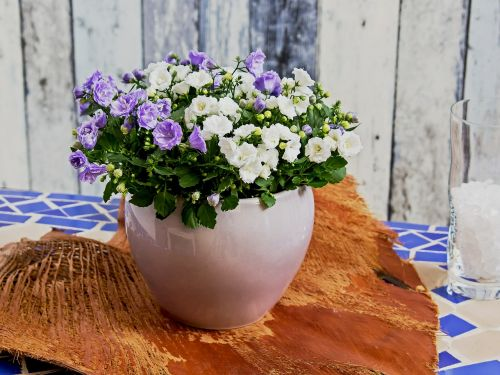 campanula blue flower