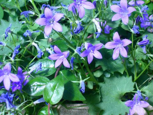 campanules flowers blue