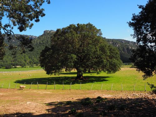 camphor tree tree cinnamomum camphora