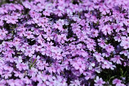 campion  plant  flowers