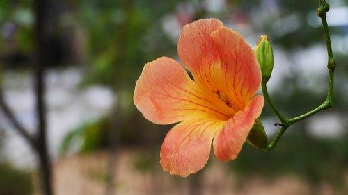 campsis  orange  flowers