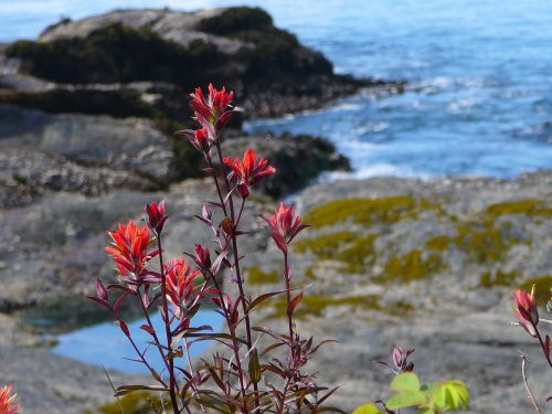 canada vancouver island indian paintbrush