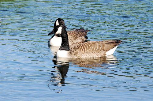 canada geese branta canadensis swimming