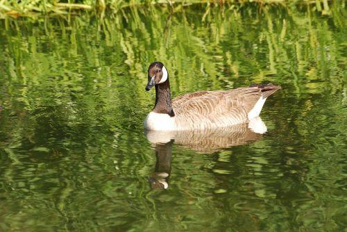 canada geese branta canadensis waterfowl