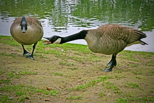 canada geese  waterfowl  wild geese