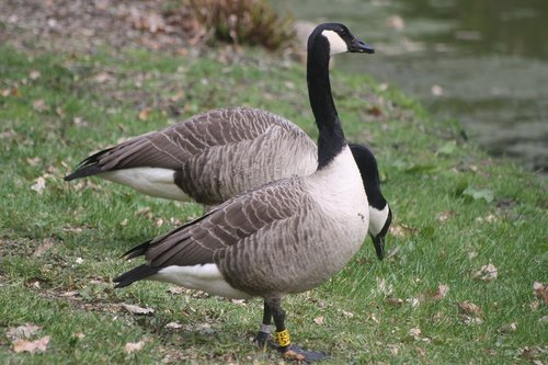 canada geese  animals  waterfowl