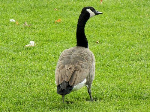 canada geese goose ontario