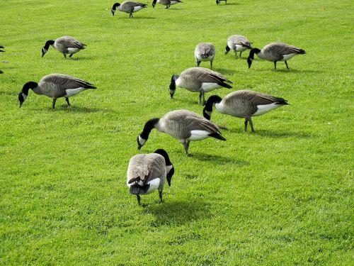 canada geese feeding grass