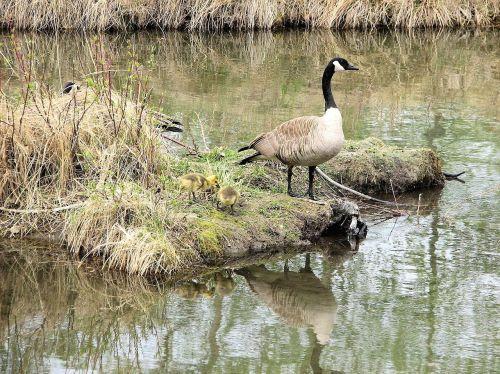 canada geese goslings habitat
