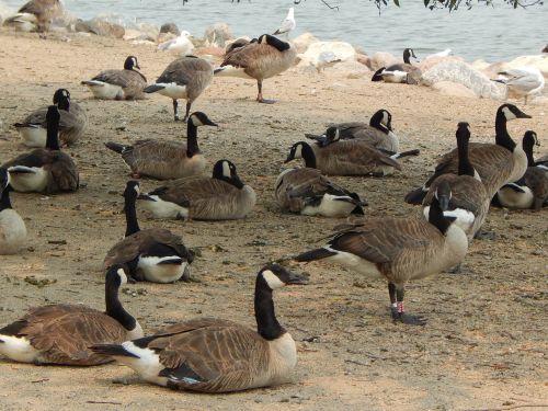 canada geese birds geese